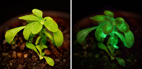 En condiciones de oscuridad se puede apreciar la bioluminiscencia de la planta Starlight Avatar